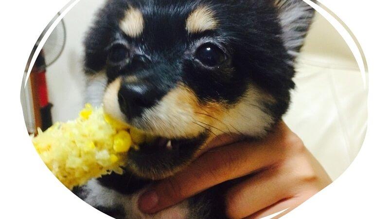 犬にとうもろこしを与える際の注意点・正しい与え方